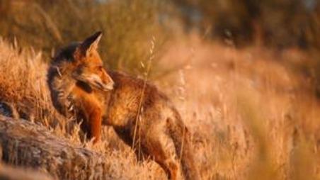 Bigmouth fox