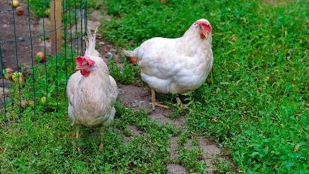 Hickety,Pickety, My black hen