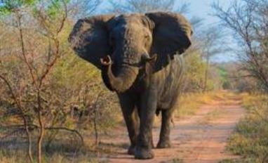 The Shrewd Jackals and The Elephant