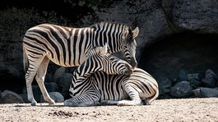 The camel and the zebra