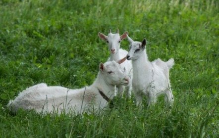 Two Silly Goats