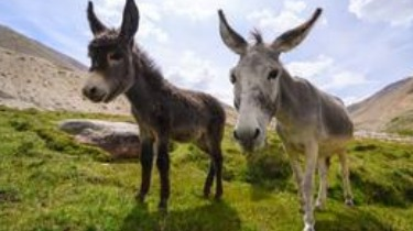 The donkey's relatives
