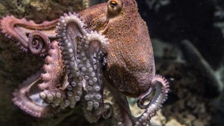 An octopus in trouble